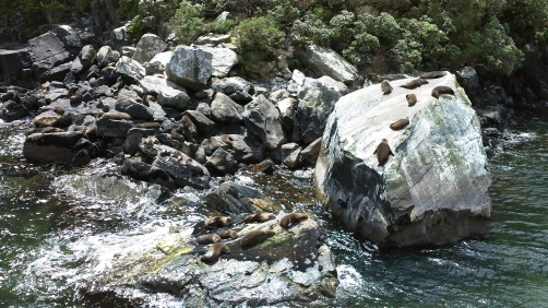 Seals at Milford Sounds