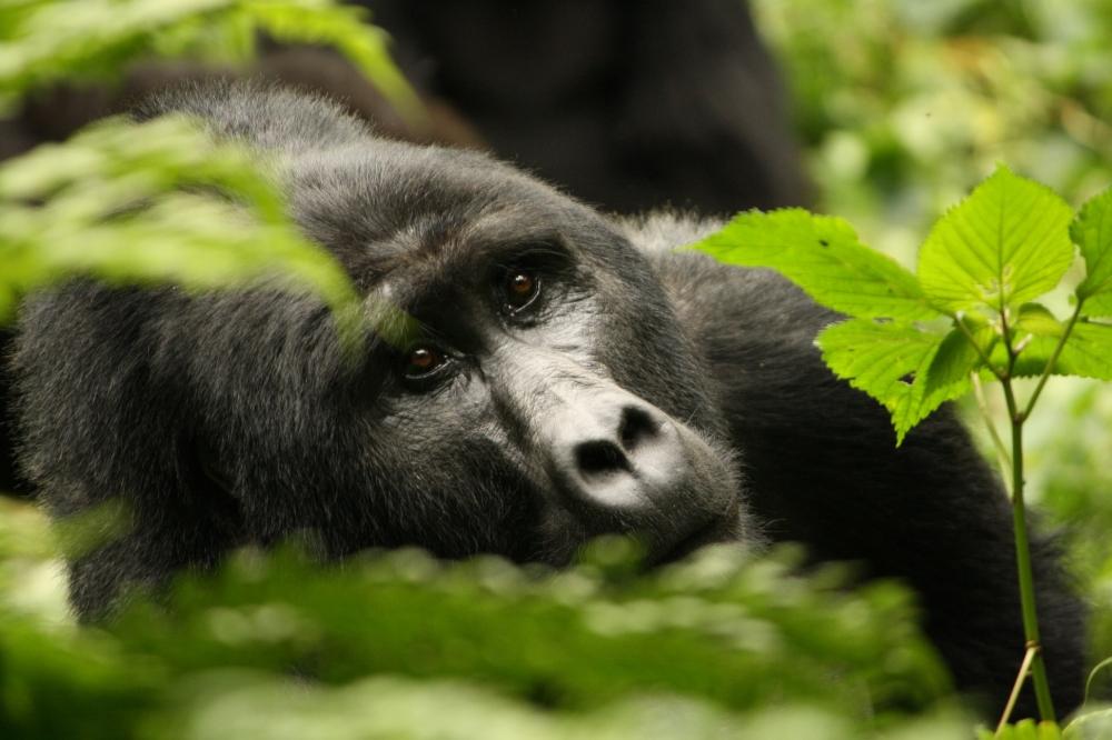 gorilla_16