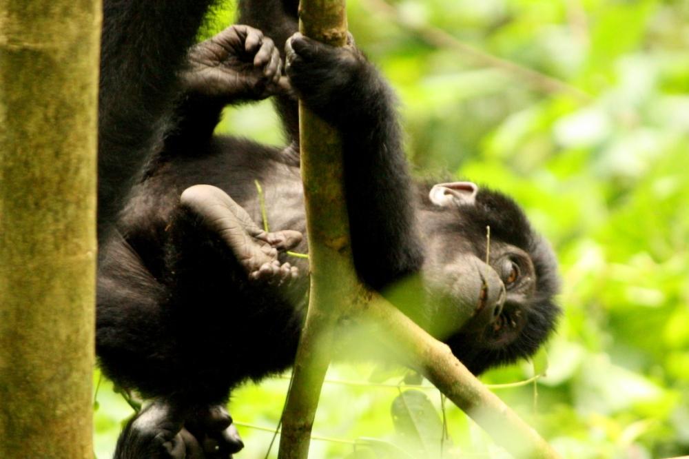 Gorilla Tracking Rwanda and Uganda