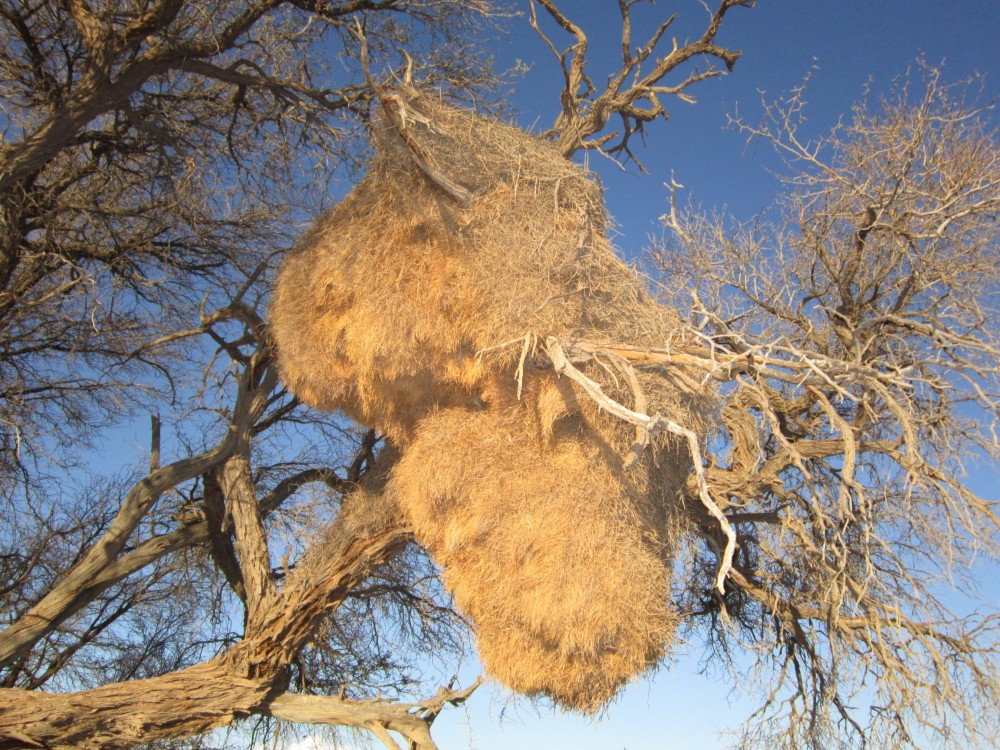 social weaver bird nests