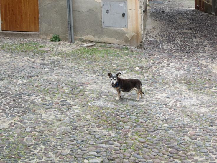 Sicilian Guard Dog!